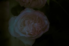 twilight flowers #11 Rose