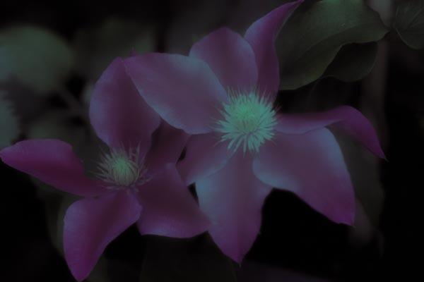twilight flowers #10 Clematis_