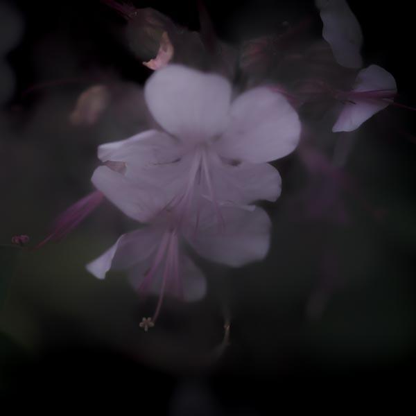 twilight flowers #12 Geranium