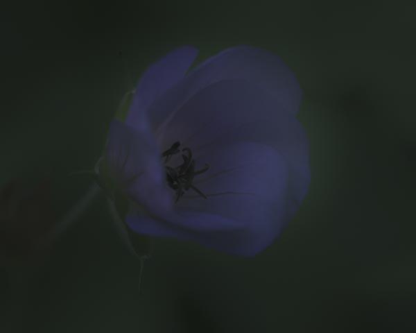 twilight flowers #8 Geranium